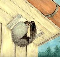 Mehlschwalben-Einzelnest Nr. 13
